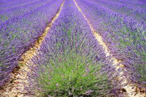 поле от лавандула за етерични масла