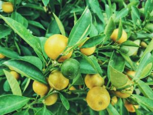 лимоново етерично масло растение етерим