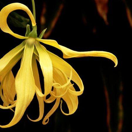 Как мирише растението Иланг Иланг?