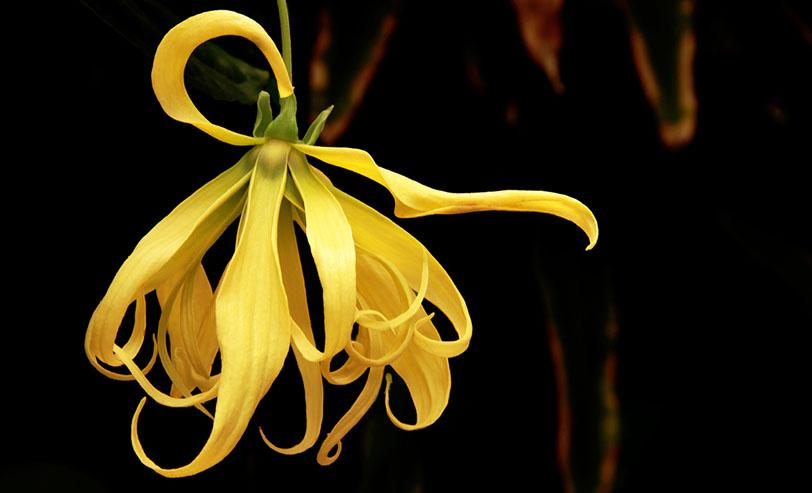Иланг Иланг цвете